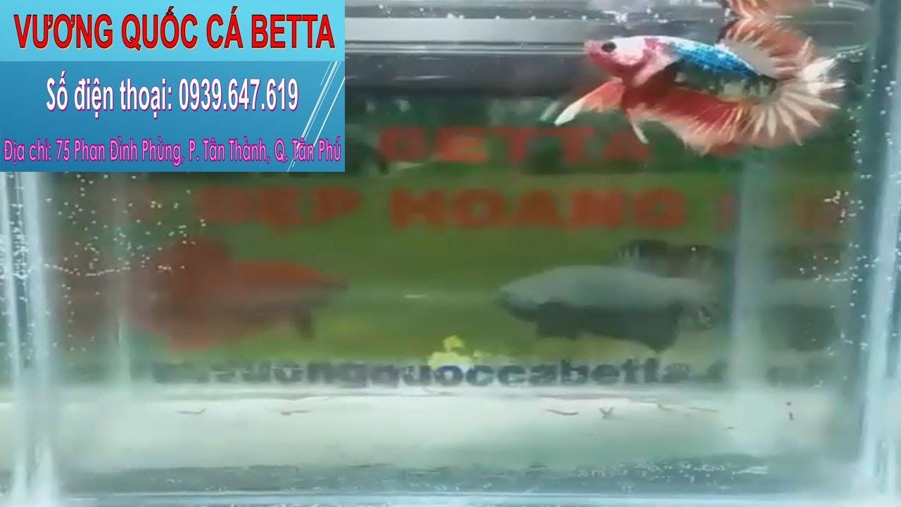 Địa Điểm Bán Cá Betta Fancy Uy Tín Ở Tphcm