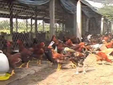 Free range Chicken Farm in Go Cong, Vietnam
