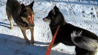 Сибирский Хаски, Подготовка к выставке, Игнор на собаку
