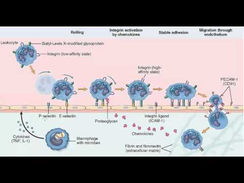 neutrophil margination steroids