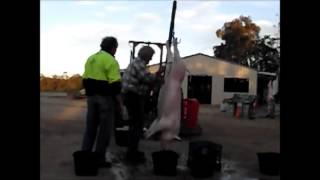How to Slaughter Pigs - Part Two