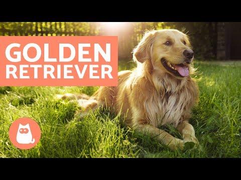 Golden Retriever - Características, Adestramento E Cuidados
