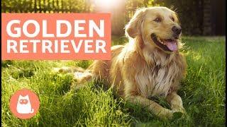 Golden retriever  Características, adestramento e cuidados