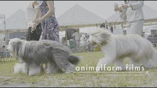 breed shows ドックショー