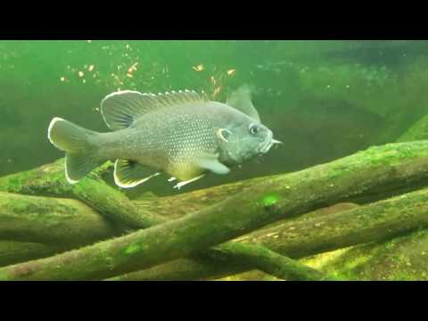 Green Sunfish Swallows Golden Shiner Whole
