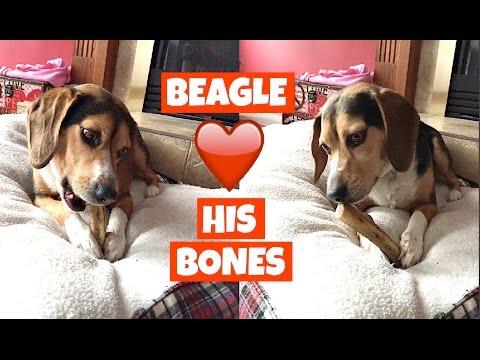 BEAGLE LOVES HIS BONES