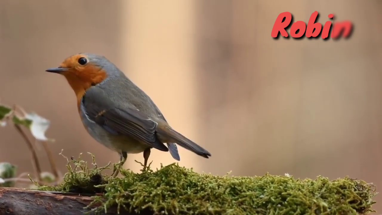 bird sounds   Sounds of Robin