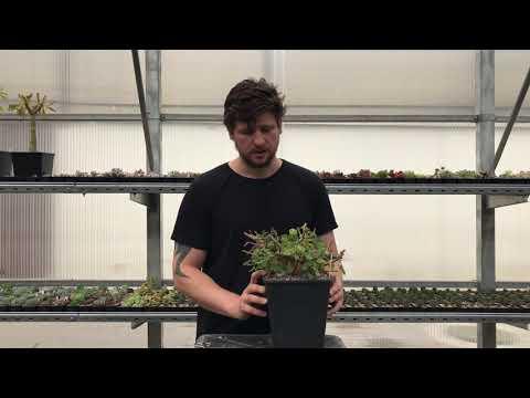 Plectranthus ernstii - обрезка и формирование