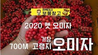 2020 거창 오미자 수확시기 5Kg 10Kg 생오미자…
