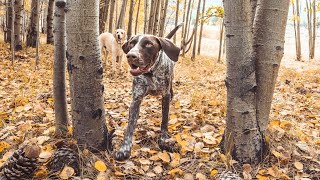 German Shorthaired Pointers Hunting INSTINCTS but we don't hunt