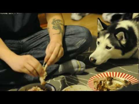 Husky begging for chicken