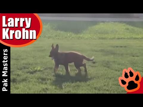 Introducing Halo The German Shepherd Puppy / Pak Masters Dog Training