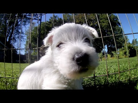 West Highland White Terrier Bessie's Puppies 5 Weeks Old Outside Part 2