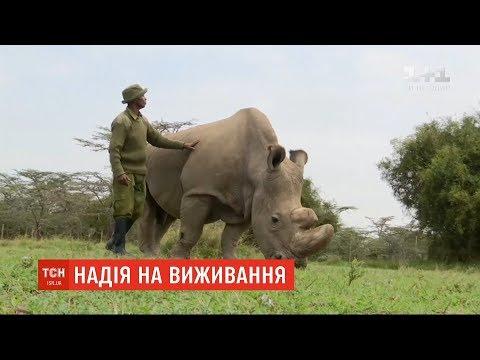 Італійські вчені сподіваються відродити популяцію білих носорогів