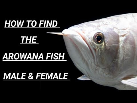 How To Find The Arowana Fish Male & Female In Tamil
