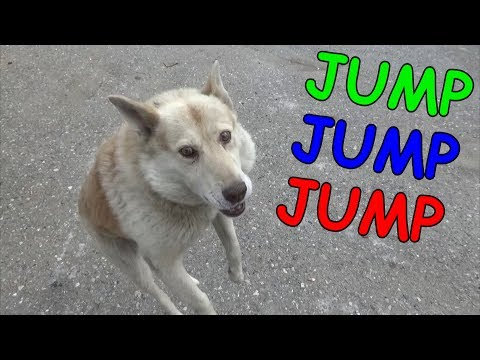 Tarzan the jumping dog. Тарзан - прыгающий пес