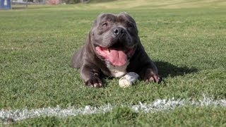EXCALIBUR THE $63,000.00 DOG - AMERICAN BULLY KENNEL - DE LA LOMA BULLIES thumbnail