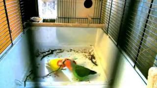 Попугаи Неразлучники строят гнездо
