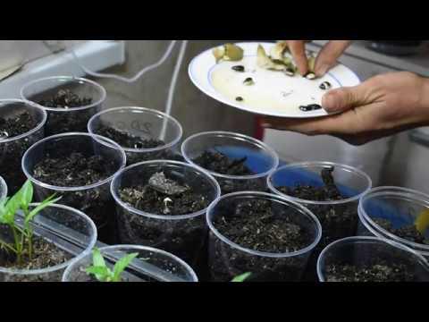 Долихос Декоративная фасоль Как прорастить Как посадить