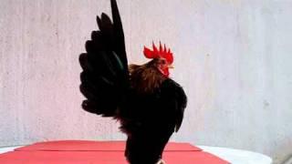 Bao Jing Tian | Malaysian Serama Chicken