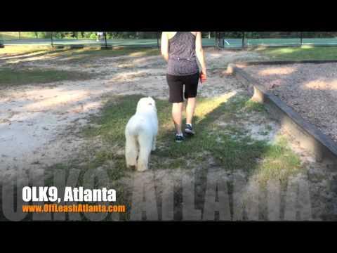 """5 Month Old Goldendoodle """"Jovi"""" Before/After Video   Dog Training Atlanta"""