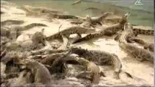 כמה תנינים בדיוק ברחו מהחווה בבקעת הירדן?