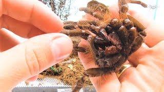 Baixar KONKURS WYNIKI! Karmienie pająków i Theraphosa blondi.