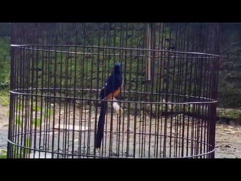 Murai batu bahan nembak love bird & kenari