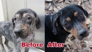 Rescued off a Chain, Demodectic Mange- Transformation of Lena