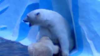 Белая медведица кормит медвежонка