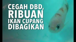 Cegah DBD Ribuan Ikan Cupang Dibagikan