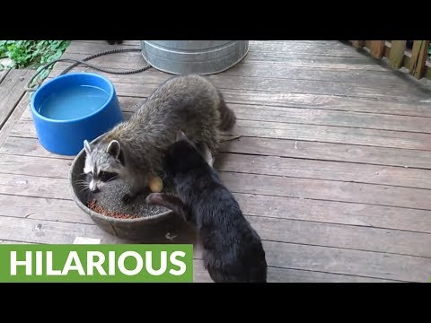 Grumpy cat scolds raccoon for stealing cat food