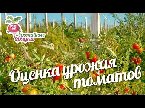 Оценка урожая. Отзыв о сортах томатов #urozhainye_gryadki