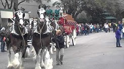 BudWeiser Clydesdales in Jacksonville Florida 2013
