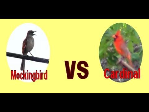Northern Mockingbird vs Northern Cardinal