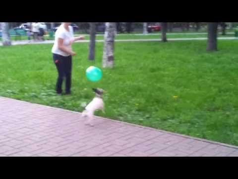 Jack Russell Terrier playing with balloon