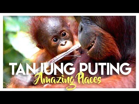 TANJUNG PUTING NATIONAL PARK: ORANGUTANS IN INDONESIA