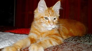 Котята мейн кун онлайн. Питомник Lovitven.