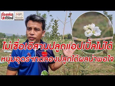 ไม่เชื่ออีสานปลูกแอปเปิ้ลไม่ได้! หนุ่มอุดรฯ ทดลองได้ผลน่าพอใจ : เรื่องเด่นทั่วไทย