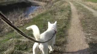 紀州犬との散歩映像。