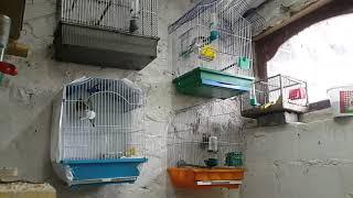 Пенье диких птиц коноплянка реполов щегол зеленушка чечетка