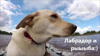 Собака на лодке! Природа ХМАО! Лабрадор и рыыыба!  Рыбалка 19.08.2018 Labrador Jesse