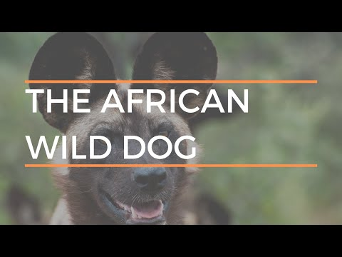 Amazing Facts About The African Wild Dog