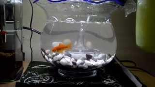 金魚鉢で水槽立ちあげ お祭りの金魚! thumbnail