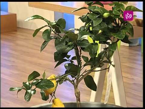 امل القيمري تتحدث عن الاعتناء بنبات الليمون  Roya l thumbnail