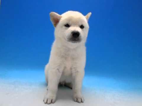 ワンラブ 名古屋市 ペットショップ 柴犬 27305