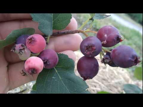 Ирга канадская сорт Tiessen - первый урожай