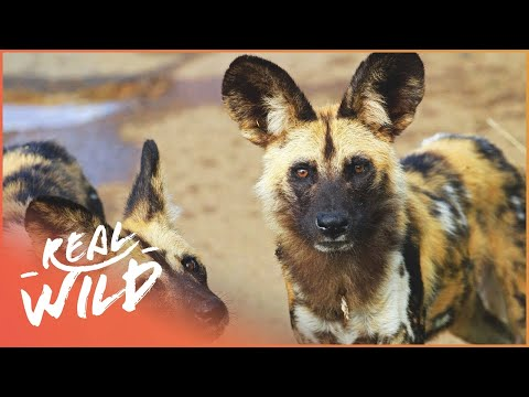 Wild Dogs Vs Lioness | Wild African Dogs | Real Wild