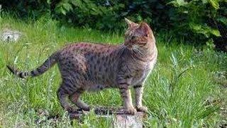Animal Planet  : Cats 101 ~ Ocicat