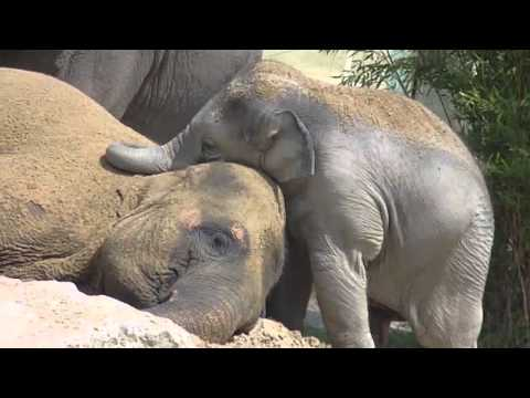 Cute Baby Elephant Ludwig cuddling with his mother Temi - Baby Elefant schmust mit Mama Temi
